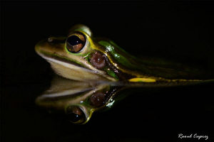 Frog's reflection by Raoul Caprez 